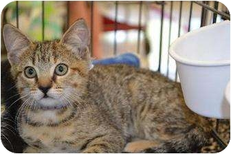 Domestic Shorthair Kitten for adoption in Chino, California - Tabitha