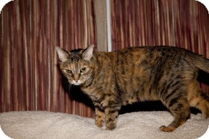 Domestic Shorthair Cat for Sale in Gilbert, Arizona - Sallie