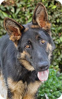 German Shepherd Dog Dog for adption in Los Angeles, California - Omar von Olsberg