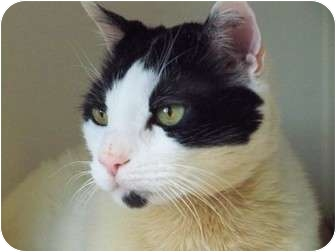 Domestic Shorthair Cat for adoption in Secaucus, New Jersey - Tee