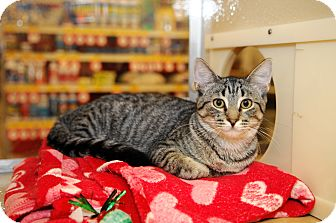 Domestic Shorthair Cat for adoption in Farmingdale, New York - Joffrey