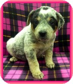 Australian Cattle Dog Mix Puppy for Sale in Allentown, Pennsylvania - Stormy