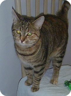 Domestic Shorthair Cat for adoption in Hamburg, New York - Snook