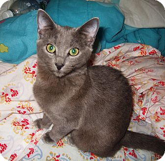 Russian Blue Kitten for Sale in Simi Valley, California - Anastasia