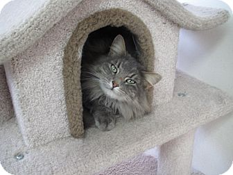 Maine Coon Cat for Sale in Hamilton, Montana - Chantilly