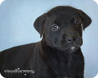 Labrador Retriever/Shar Pei Mix Puppy for Sale in Phoenix, Arizona - Carina