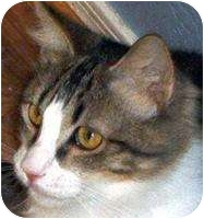Domestic Shorthair Cat for adoption in Mesa, Arizona - Stormy