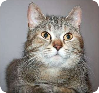 Domestic Shorthair Cat for adoption in Richmond Hill, Ontario - Layla