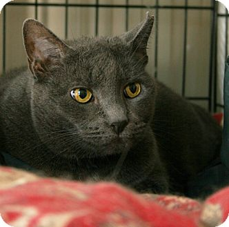 Domestic Shorthair Cat for adoption in Secaucus, New Jersey - Selma