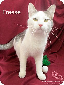 Domestic Shorthair Cat for adoption in St Louis, Missouri - Freese