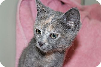 Calico Kitten for Sale in Poway, California - Violet May