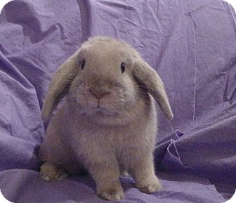 Lop-Eared Mix for Sale in Garland, Texas - Scooter