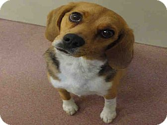 Beagle Mix Dog for Sale in Ogden, Utah - Rosie