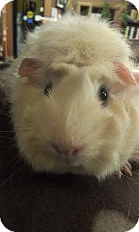 Guinea Pig for Sale in Pittsburgh, Pennsylvania - Blanche