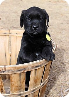 Labrador Retriever/Newfoundland Mix Puppy for Sale in Westminster, Colorado - Orlando