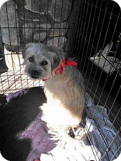 Pug/Poodle (Miniature) Mix Dog for Sale in Scottsdale, Arizona - Cole