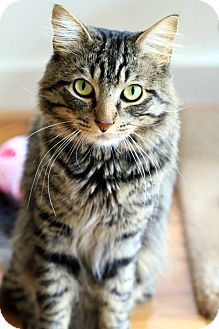 Domestic Mediumhair Cat for Sale in Gaithersburg, Maryland - Howard Hughes