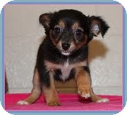 Chihuahua Mix Puppy for Sale in Hagerstown, Maryland - Opal