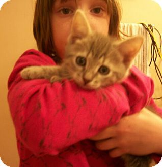 Domestic Shorthair Kitten for Sale in Sterling, Virginia - Bobby