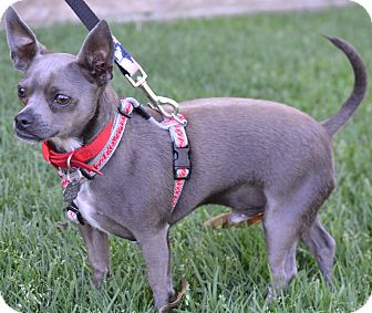 Chihuahua Mix Dog for adption in Simi Valley, California - Henry