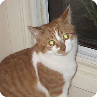 Domestic Shorthair Cat for adoption in Toronto, Ontario - Leona