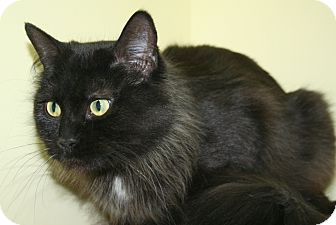 Domestic Longhair Cat for adoption in Edmonton, Alberta - Padme