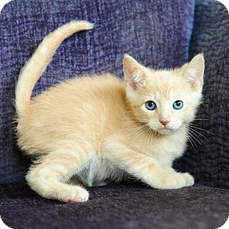 Domestic Shorthair Kitten for Sale in Ft. Lauderdale, Florida - Chaz