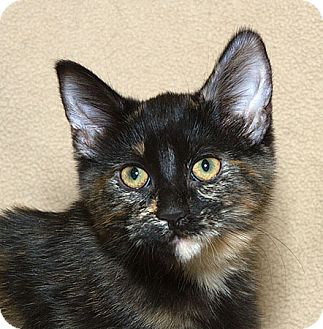 Domestic Shorthair Kitten for adoption in Sacramento, California - Tortilla N
