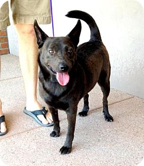 Schipperke/Chow Chow Mix Dog for adption in Chandler, Arizona - Alicia