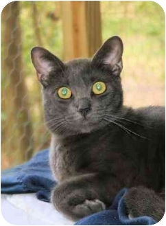 Russian Blue Cat for adoption in Houston, Texas - Coco Rococo