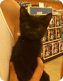 Domestic Shorthair Kitten for Sale in Troy, Ohio - Mo