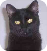 Domestic Shorthair Cat for adoption in Las Vegas, Nevada - Dimbulb