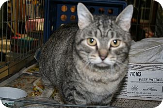 American Shorthair Cat for Sale in Spring Valley, New York - Beatrice