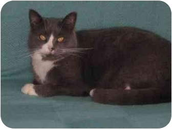 Domestic Shorthair Cat for adoption in Hamilton/Selkirk, Ontario - Meadow