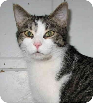 Domestic Shorthair Cat for adoption in Cincinnati, Ohio - Dickens