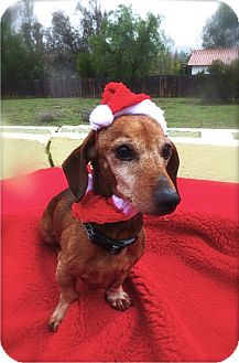 Dachshund Mix Dog for adption in Irvine, California - Doc