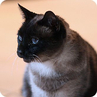 Siamese Cat for adoption in Columbia, Maryland - Sheba