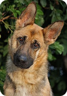 German Shepherd Dog Dog for adption in Los Angeles, California - Katie von Knoxville
