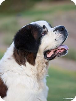 St. Bernard Dog for adption in Glendale, Arizona - Chazy