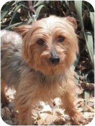 Yorkie, Yorkshire Terrier Mix Dog for adption in Oakland, Arkansas - Pancake