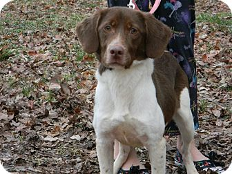 Brittany/Spaniel (Unknown Type) Mix Dog for adption in Hamburg, Pennsylvania - Ginger