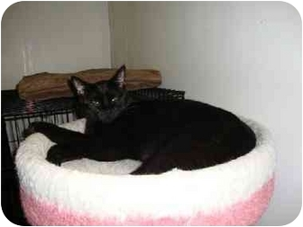 Domestic Shorthair Cat for adoption in Kenosha, Wisconsin - Binx