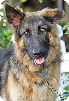 German Shepherd Dog Dog for Sale in Los Angeles, California - Tiger von Badour