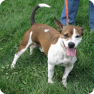 Beagle/Bull Terrier Mix Dog for Sale in Lisbon, Ohio - Henry