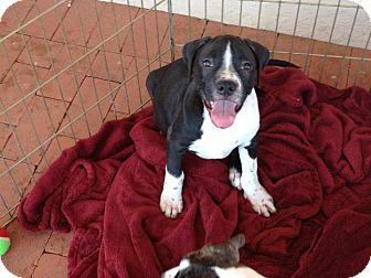 Pit Bull Terrier/Pointer Mix Puppy for adption in Tucson, Arizona - MACK