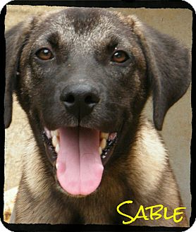 Shepherd (Unknown Type) Mix Puppy for Sale in cumberland, Rhode Island - Sable *Reduced Adoption Fee*