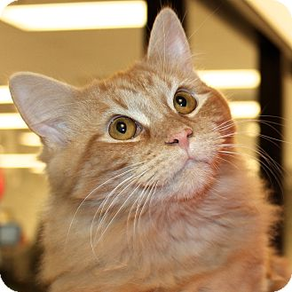Domestic Mediumhair Cat for Sale in Greenville, South Carolina - Simba