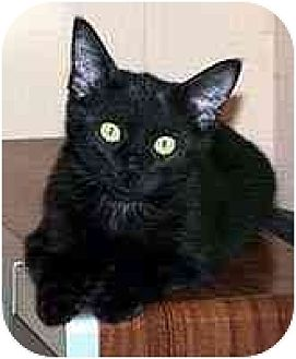 Domestic Shorthair Cat for adoption in Clovis, New Mexico - Taco