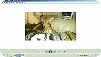 Chihuahua Mix Puppy for adption in Chandler, Arizona - Cheeko