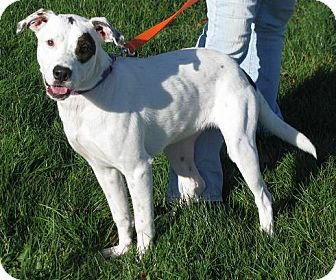 Dalmatian/Great Dane Mix Dog for Sale in Lisbon, Ohio - Lanie